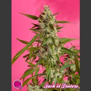 Jack El Frutero Feminised Seeds