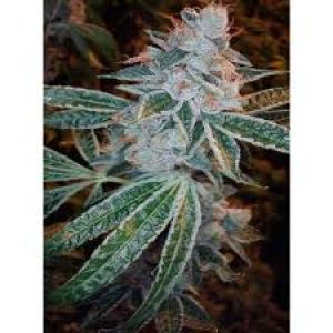 Lemon OG Kush Feminised Seeds - 6