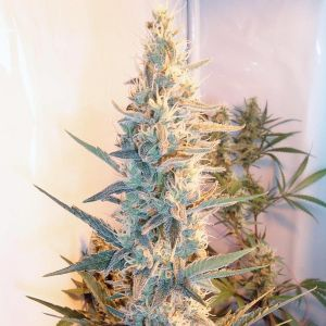 Outdoor Grapefruit Feminised Seeds