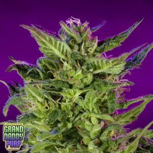 Purple Valley OG - 10 Regular Seeds