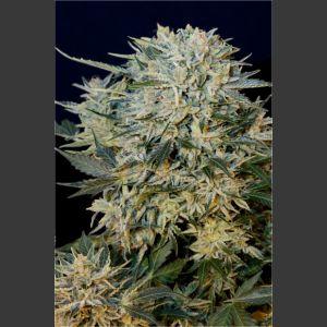 Sugar GOM Feminised Autoflowering Seeds