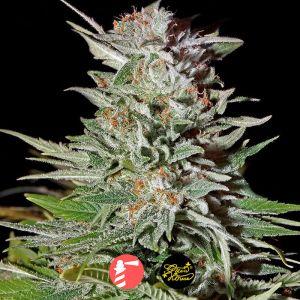 Super Lemon Haze (Greenhouse Seed Co.)