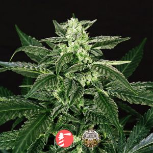 Auto Triple A (AAA) (Exotic Seed)