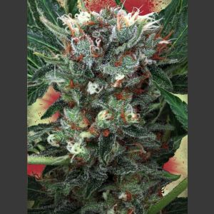 Zensation Feminised Seeds