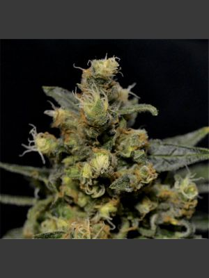 A - K Feminised Seeds