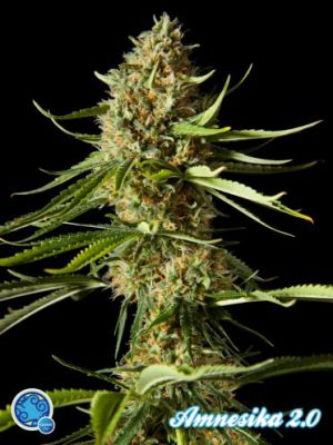 Amnesika 2.0 Feminised Seeds