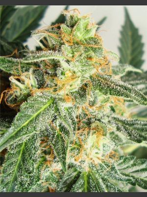 Snow Ryder Auto Feminised Seeds