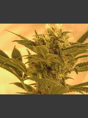 Big Band Feminised Seeds