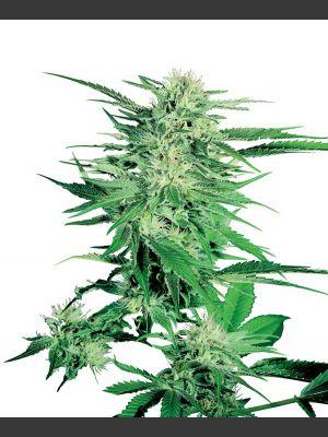 Big Bud Regular(Sensi Seeds)