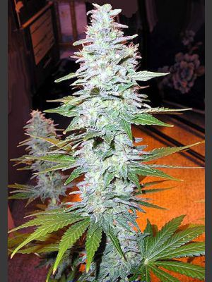 Black Widow Regular Seeds