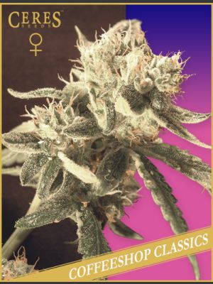 Ceres Easy Rider Autoflowering Feminised Seeds