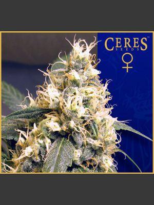 Ceres Skunk Feminised Seeds