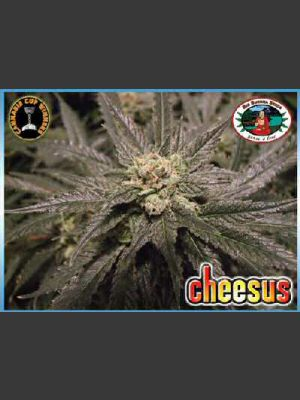 Cheesus Feminised Seeds