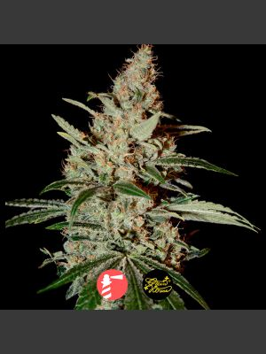 Chem Dog (Greenhouse Seed Co.)