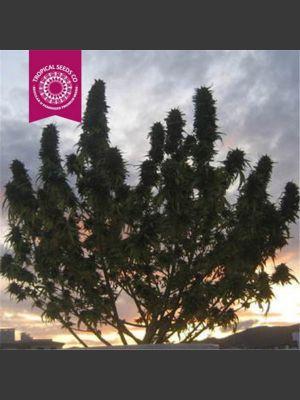 Ciskei Regular Seeds
