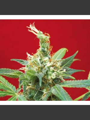 Claustrum Feminised Seeds