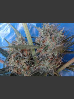 Congo x Kali China Feminised Seeds
