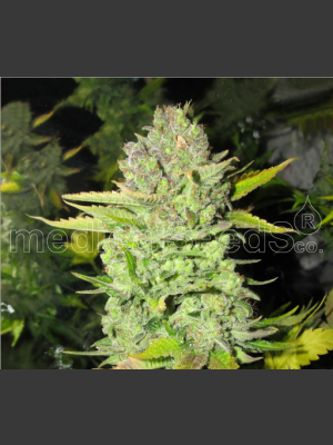 Devil Fruit Feminised Seeds
