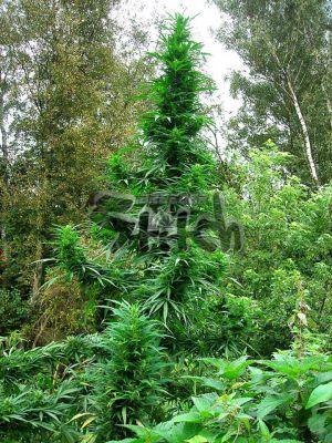 Doctor Shiva SuperAuto Feminised Seeds - 3