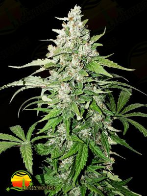 Cinderella Jack Auto (Dutch Passion)