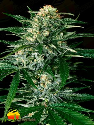 Gypsy Widow (Exotic Seed)