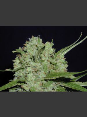 Cinderella 99 BX-1 - 10 Regular Seeds