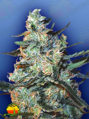 TFD Feminised Seeds Mix (Flying Dutchmen)