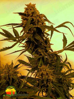 Guillotine Auto (French Touch Seeds)