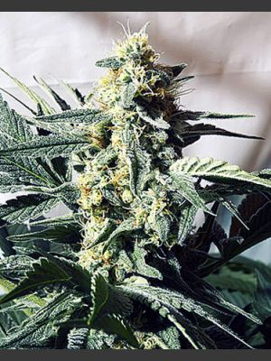 G13 Widow Regular Seeds