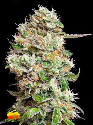 Kings Kush CBD Auto (Greenhouse Seed Co.)