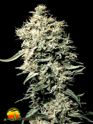White Rhino (Greenhouse Seed Co.)