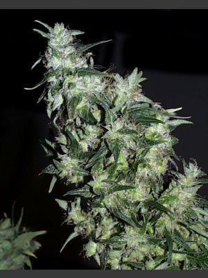 Haze Special Feminised Seeds