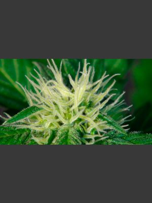 Hobbit Automatic Feminised Seeds