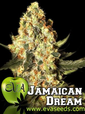 Jamaican Dream Feminised Seeds