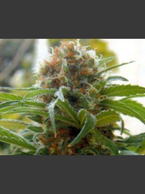 Kannabia Special Feminised Seeds
