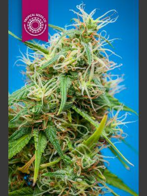 King Congo Regular Seeds