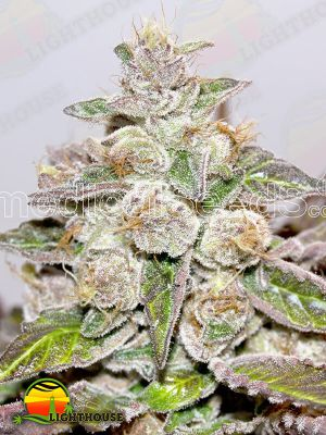Mendocino Purple Kush (Medical Seeds)