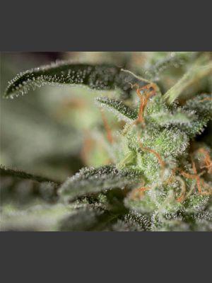 Medizinal CBD Feminised Seeds