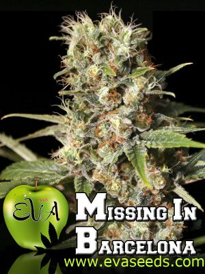 Missing in Barcelona (M.I.B.) Feminised Seeds