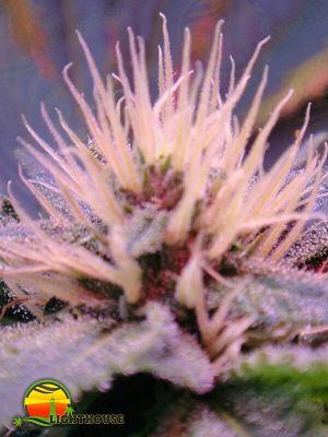 Blue Mystic Regular (Nirvana Seeds)