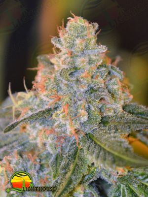 Lands End Regular (Norstar Genetics)