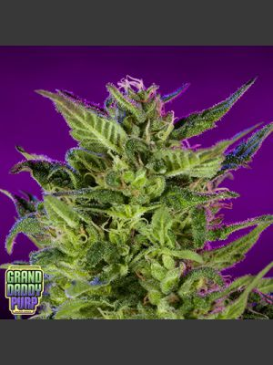 Purple Valley OG - 10 Regular Seeds