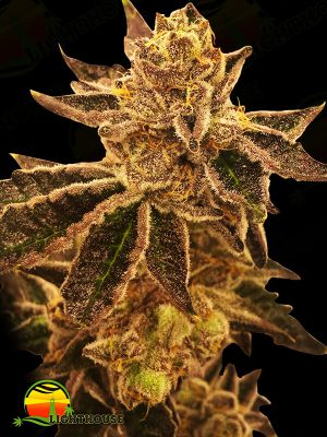 Cookie OX Regular (Rare Dankness Seeds)