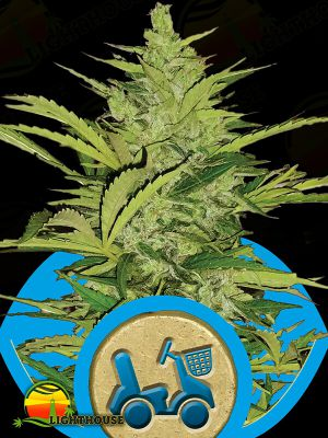 Fast Eddy Auto (Royal Queen Seeds)