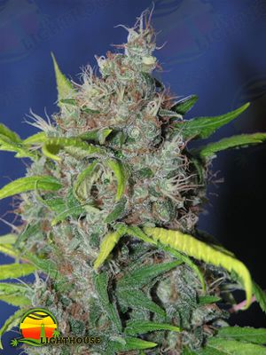 Blueberry Bud (Sagarmatha Seeds)