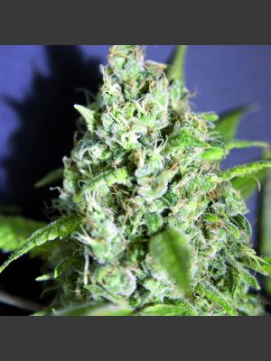 Sativa des Rois (French Touch Seeds)