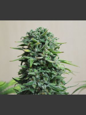 Siberian Haze AUTO Feminised Seeds