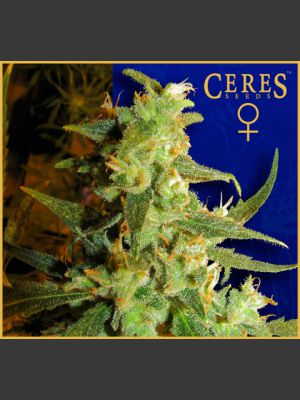 Skunk Haze Feminised Seeds