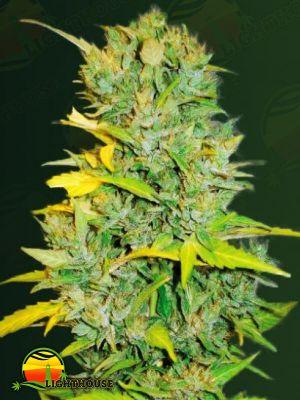 Biggest Bud (Victory Seeds)