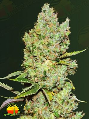 Critical Auto (Victory Seeds)
